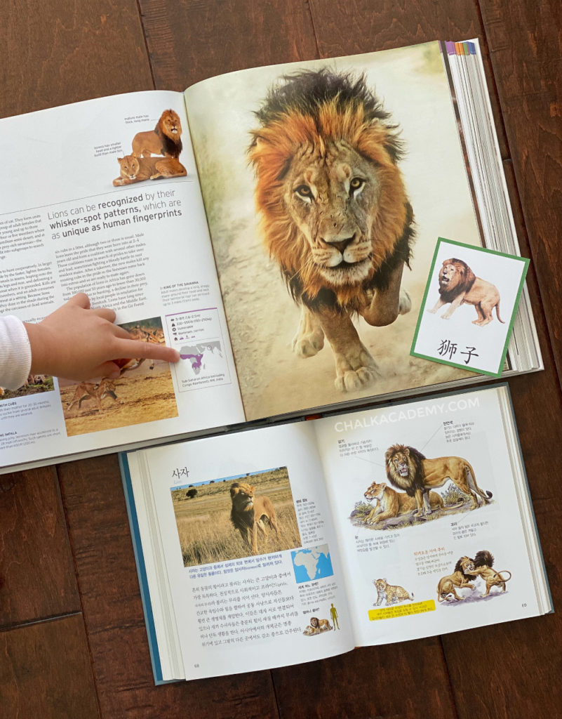 Learning about lions in Africa with Montessori picture card, animals of the world book, Korean encyclopedia