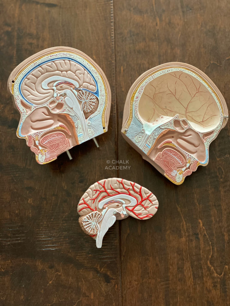 Brain anatomy model - science gifts for kids and adults, doctors, nurses, physical therapists, health care providers